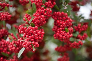 Pyracantha boasts sharp thorns for home security